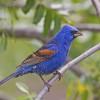 Blue Grosbeak.  Bird Day L.A.