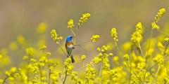 Lazuli Bunting - Bird Day LA - May 7