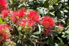 Mimosa-blossoms